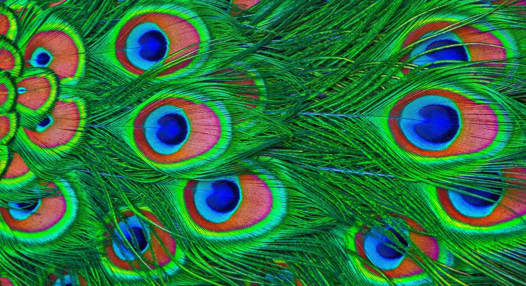 Feathers Peacock Wallpaper
