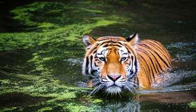 Tiger-Wallpaper