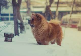 Chow Dog Snow Wallpaper