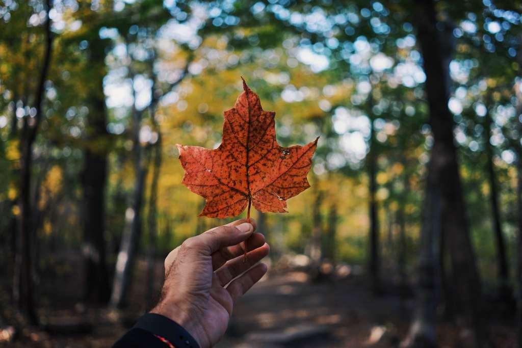 Leaf Maple Hand Autumn Wallpaper