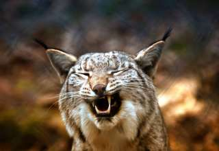 Lynx Predator Grin Wallpaper
