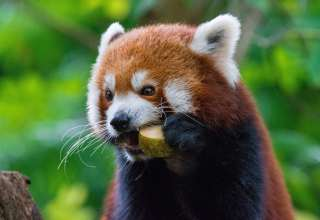 Red Panda Fiery Panda Food Wallpaper