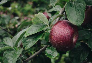 Apple Branch Drops Wallpaper