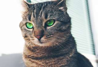 Cat Green Eyed Muzzle Look Wallpaper