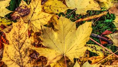 Foliage Maple Autumn Fallen Wallpaper