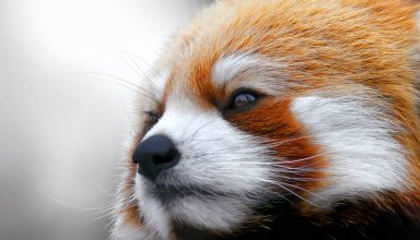 Red Panda Muzzle Fur Wallpaper
