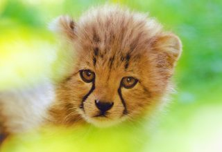 Cheetah Cute Cub 4k Wallpaper