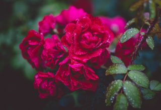 Photography of Red Roses Wallpaper