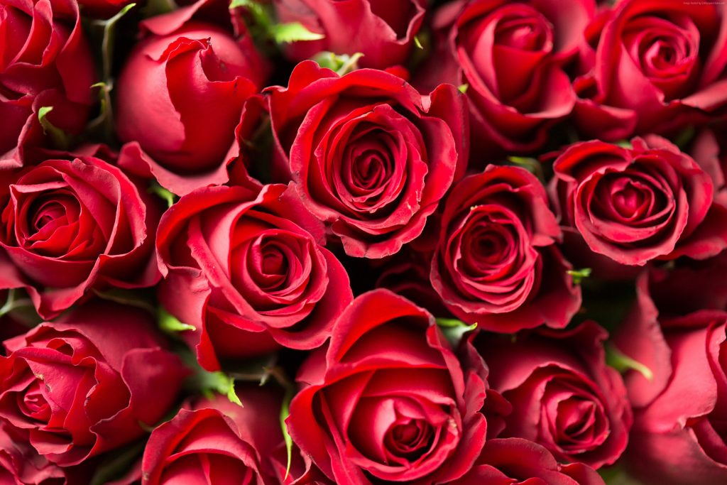 Rose Flower Red 4k Wallpaper