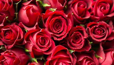 Rose Flower Red 4k Wallpaper