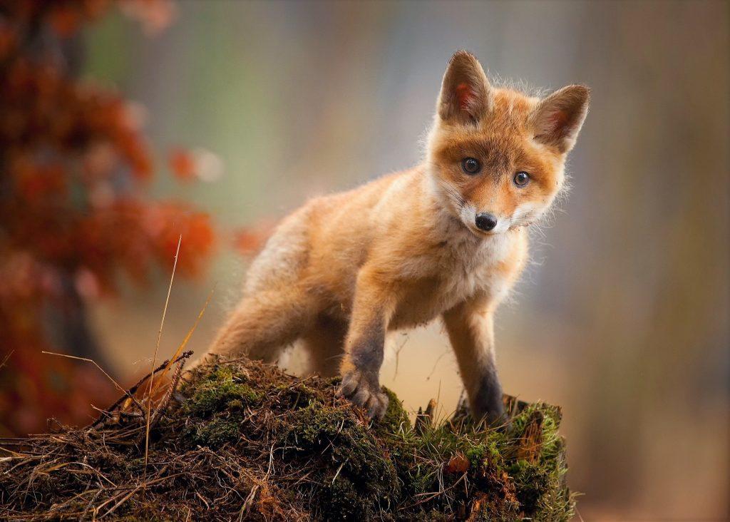 Fox Baby Animal Cute Wallpaper