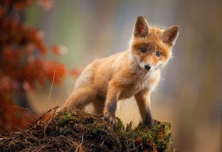Fox Baby Animal Cute Wallpaper