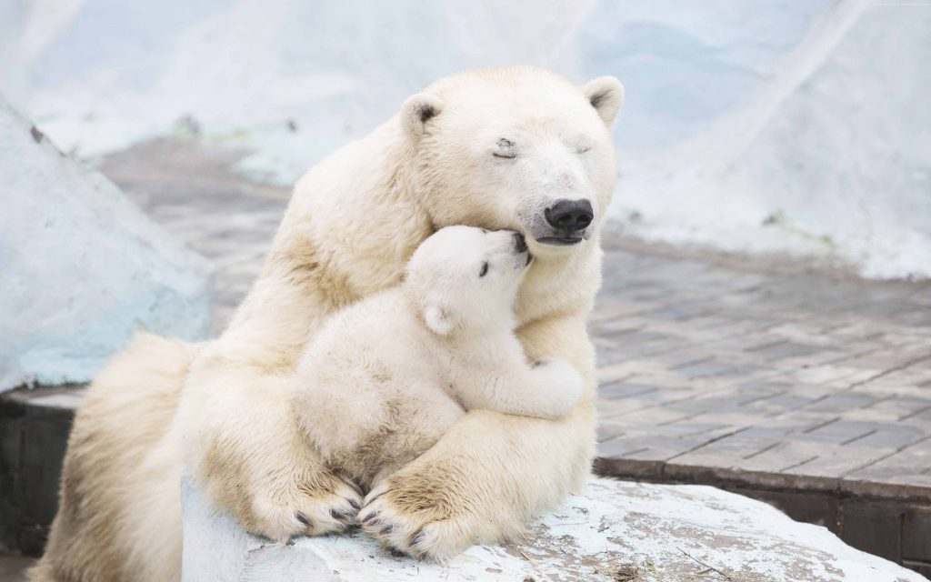 Polar Bears Cute Animals Wallpaper
