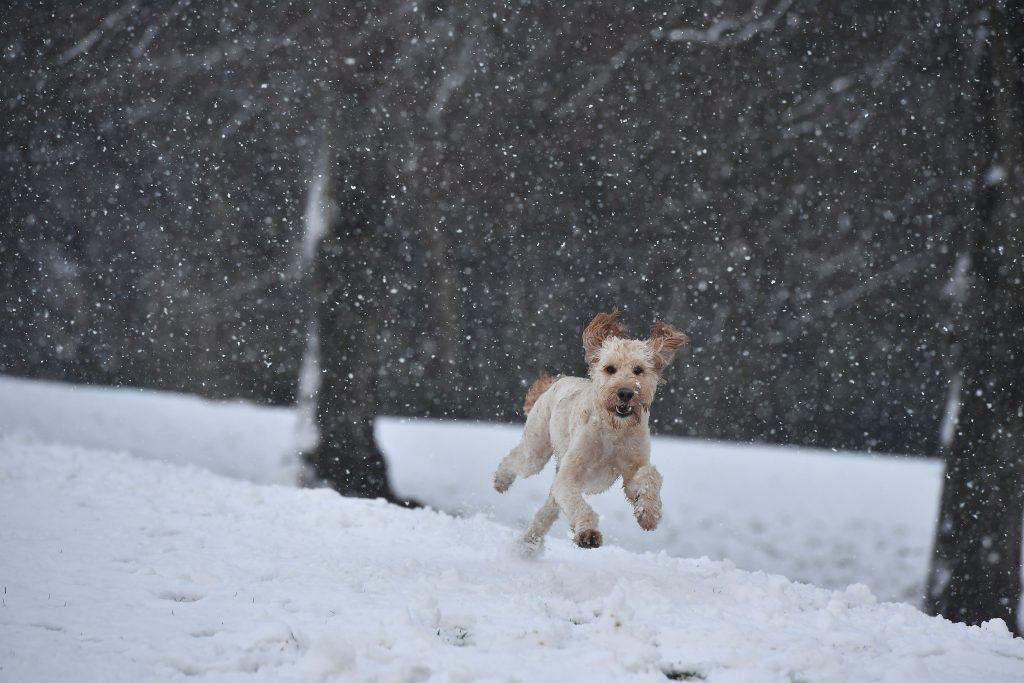 Dog Running in Snow Wallpaper