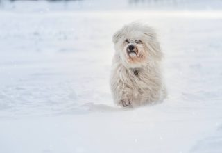Havanese Running in Snow Wallpaper
