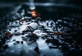 Pigeon Bird Water Blur Glare Wallpaper
