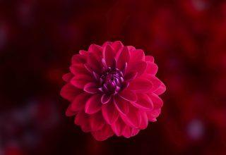 Pink Dahlia Flower Wallpaper