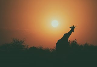 Giraffe Silhouette Sunset 4k Wallpaper