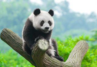 Panda Cute Animals Wallpaper