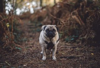 Pug Dog Walk Wallpaper