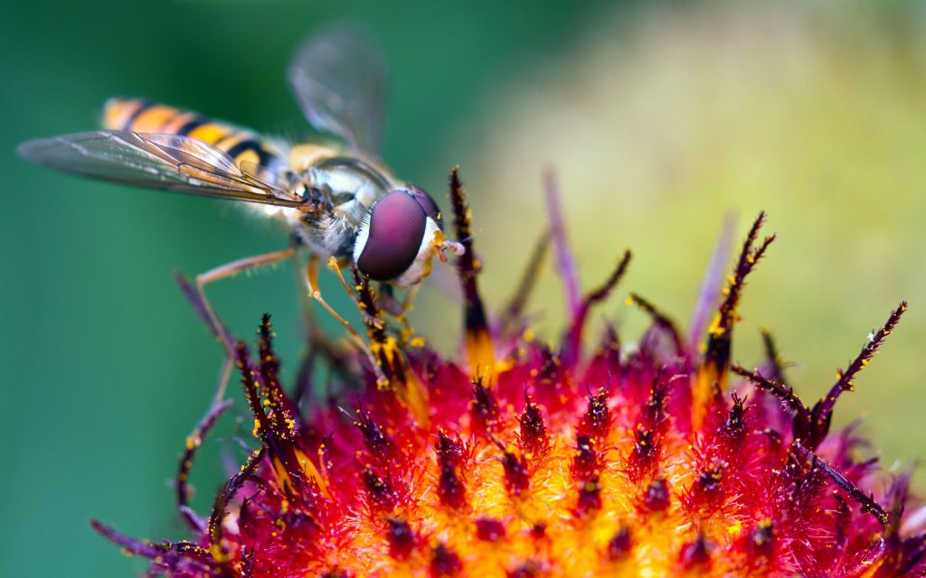 Hoverfly Pollination Wallpaper