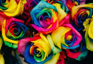Roses Colorful Rainbow Wallpaper