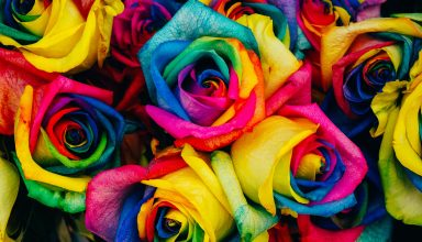 Roses Colorful Rainbow Wallpaper