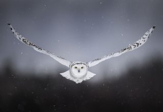 White Snow Owl Flying Wallpaper